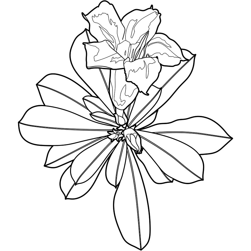 アデニウム(砂漠のバラ):黒線バージョン