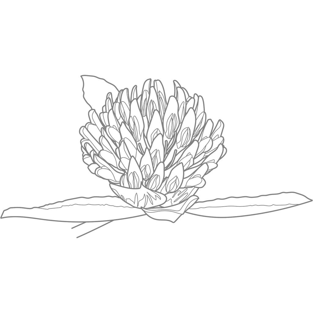 ムラサキツメクサ:グレー線バージョン