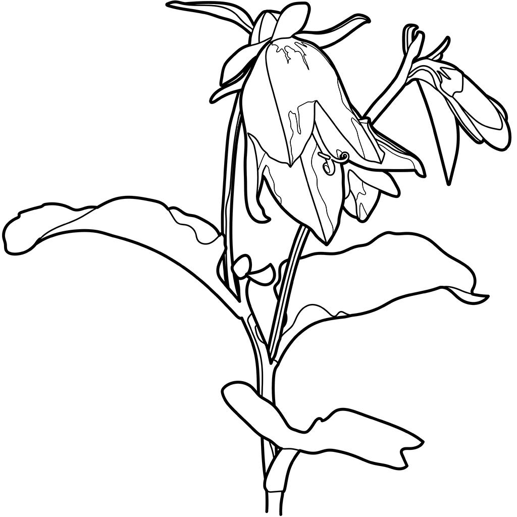 ハタザオギキョウ:黒線バージョン