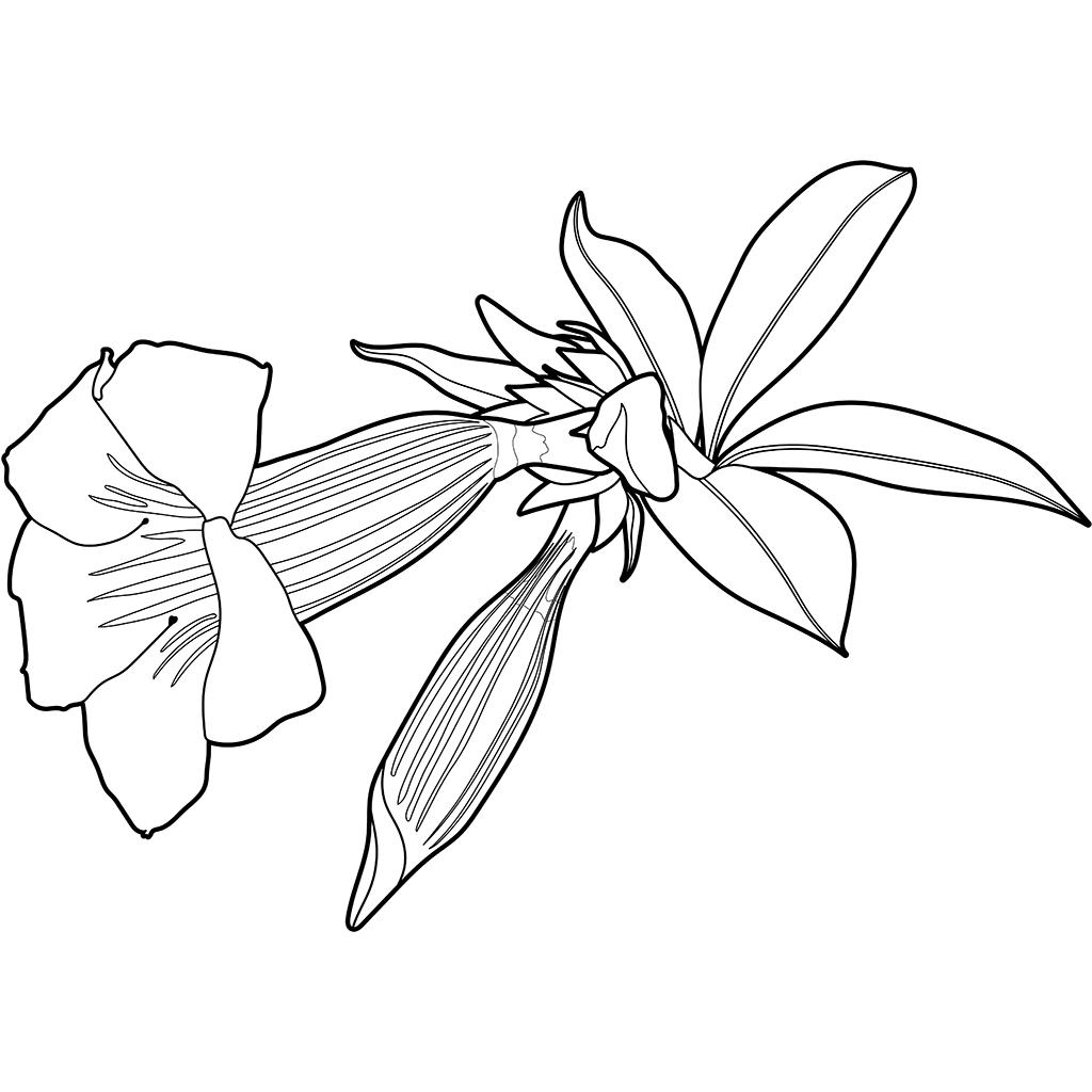ヒメアリアケカズラ:黒線バージョン