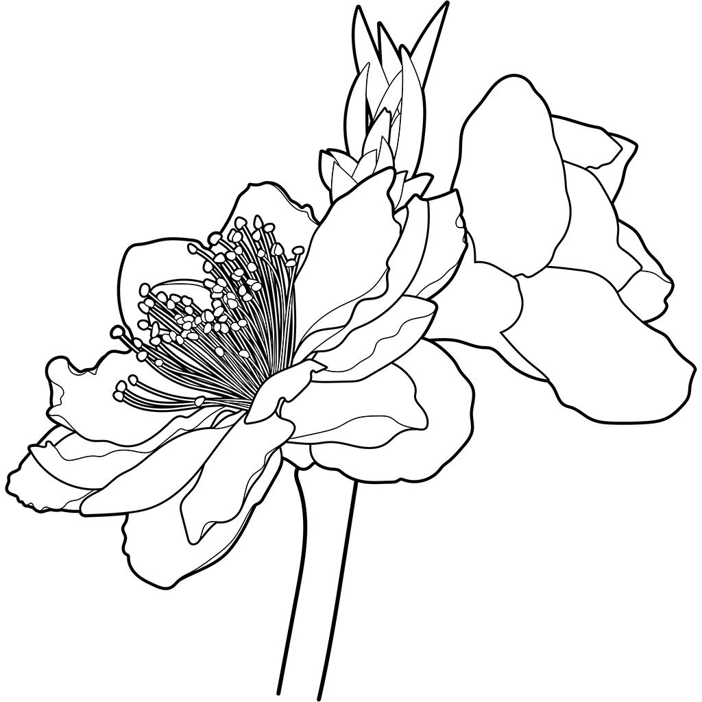 モモ(花):黒線バージョン